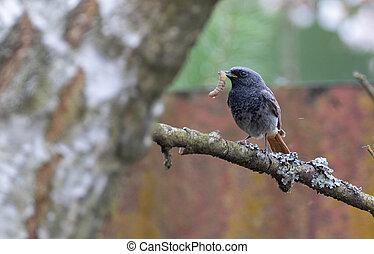 Black Redstart (Phoenicurus ochruros) with prey watching, Podlaskie Voivodeship, Poland, Europe
