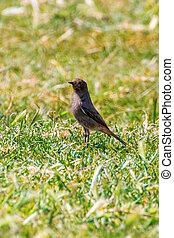 Black Redstart?on Grass (Phoenicurus Ochruros)?