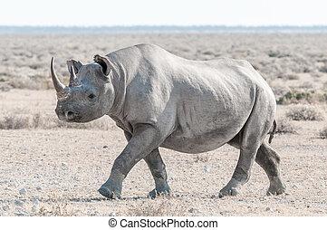 Black rhino covered with white calcrete dust, walking