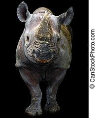Black rhino isolated - Black rhino or hook-lipped rhinoceros...