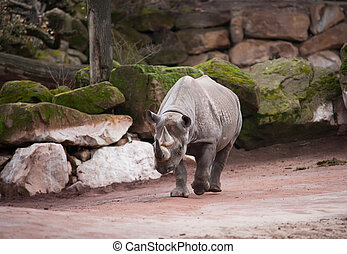 black , rhinoceros:, dier, leven, in, afrika