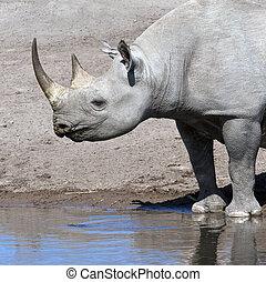 black rhinoceros, -, namíbia