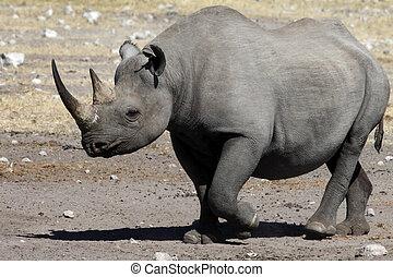 Black Rhinoceros - Namibia - Black Rhinoceros (Diceros...
