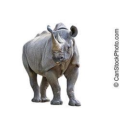 black rhinoceros on white background