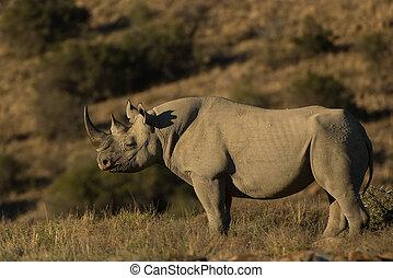 Black rhinoceros (Diceros bicornis) Sunlit rhino, Mountain...