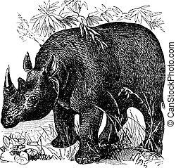 black rhinoceros, vagy, diceros bicornis, szüret, metszés