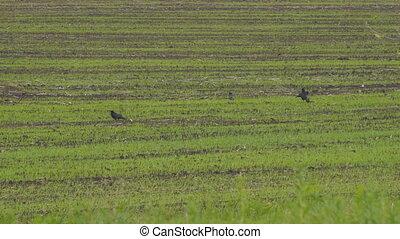 Black Rooks walk on sowed field - Black Rooks walk on the ...