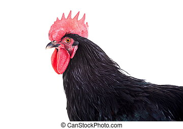 Black rooster on white