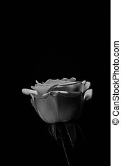 Black rose. Balck and white. Close up - The most famous...