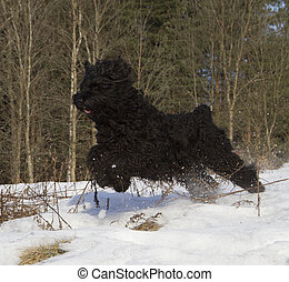 Black Russian Terrier (BRT or Stalin's dog) best guard and...