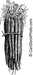 Black Salsify or Scorzonera hispanica, vintage engraving. -...