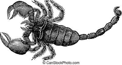 Black Scorpion (Scorpio afer), vintage engraving.