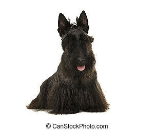 Black scottisch terrier seen from the front looking at the camera with mouth open isolated on a white background