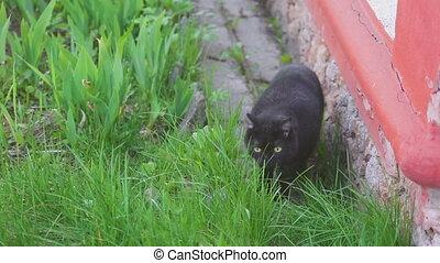 Black Scottish fold cat - Scottish fold black cat eating...