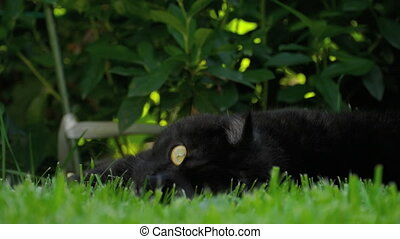 Black Scottish fold cat - Scottish fold black cat lies in...