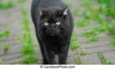 Black Scottish fold cat - Scottish fold black cat walking...