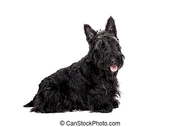 Black scottish terrier on white background