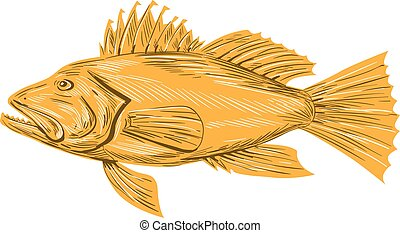 Black Sea Bass Drawing