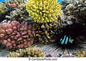 Black sea urchin and Humbug dascyllus