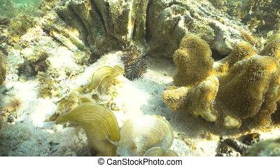 Black sea urchin. - Black sea urchin under water among...