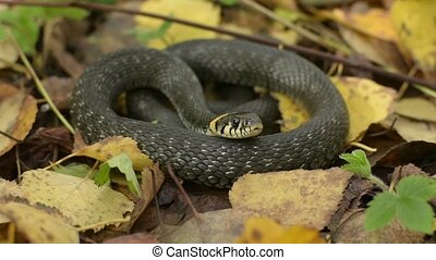 Black serpent on fall leaves. Autumn forest background. ...