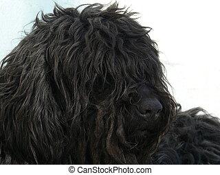 Black shaggy dog
