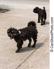 Black shaggy dog Poodle mongrel