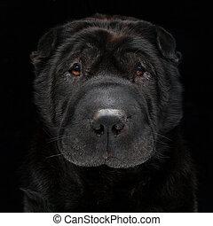 Black shar pei - Closeup portrait of beautiful adult...