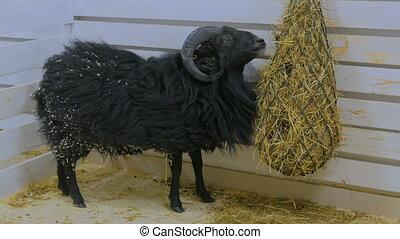 Black sheep eat hay in farm - Black sheep eat hay in contact...