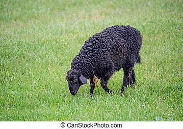 Black sheep grazing in a field