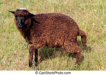 black sheep grazing on a grass