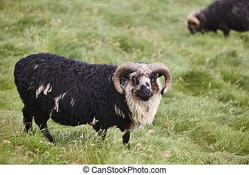 Black sheep grazing on Faroe islands countryside. Farm animal