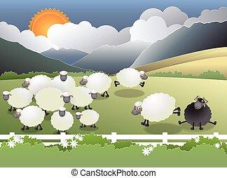 black sheep in field - Flock of sheep on green field, a...