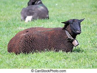 Black sheep lying in a meadow