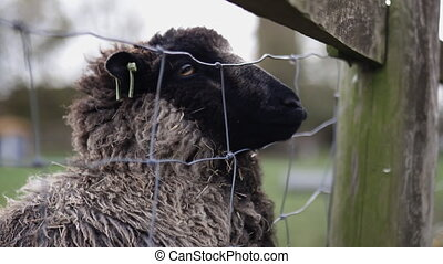 Up close of a black sheep anxiously sticking its snout out of a square knot fence and under a wooden plank at a farmyard