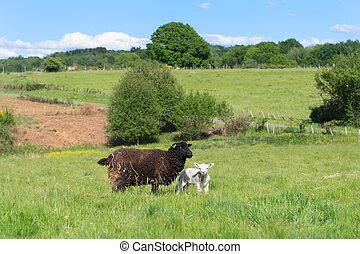 Black sheep with lamb