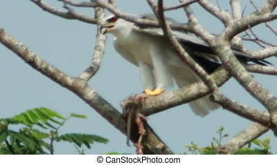 Black Shoulder Kite Feeding