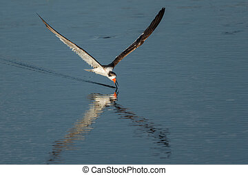 Black skimmer (Rynchops niger) Skimming. Wildlife scene from Florida, USA
