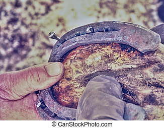 Black smith is *,shoeing horse hoof. Farrier with asistant doing hard and dangerous manual work