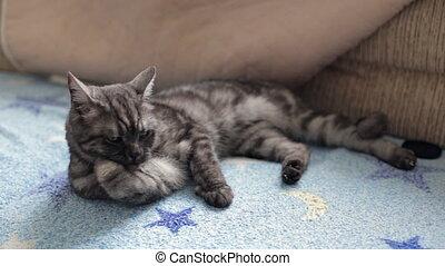 British cat washing - Black smoke British cat washing a paw...