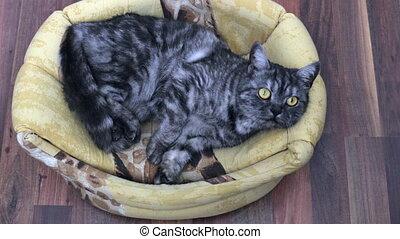 Black smoke british kitten lying at home