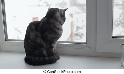 Black smoke tabby cat looking through the window