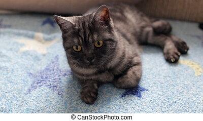 Black smoke tabby cat