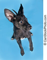 Black smooth coat puppy with long ears jumping on blue background