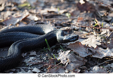 Black snake creeps into the forest at the autumn leaves shows red tongue
