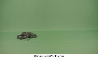 Black snake curled up sniffing and moving his tongue on...