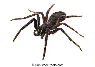 black spider species tegenaria sp in high definition with extreme focus and DOF (depth of field) isolated on white background