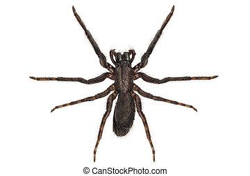 black spider species tegenaria sp in high definition with...