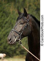 Black sport horse portrait with bridle during show
