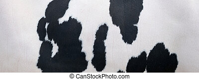 black spots on white hide of domestic cow in holland